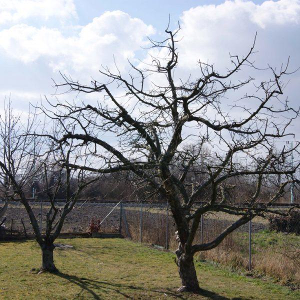 Murlasits Gartengestaltung mit Planung, Ausführung und Pflege - Obsbaumbeschnitt 2