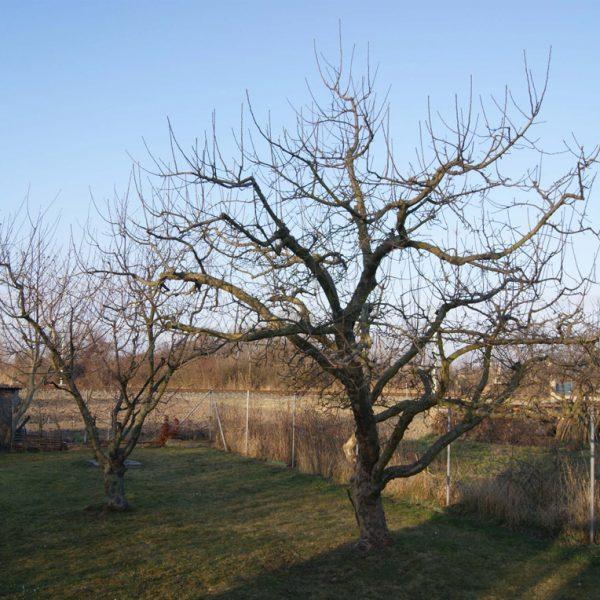 Murlasits Gartengestaltung mit Planung, Ausführung und Pflege - Obstbaumbeschnitt