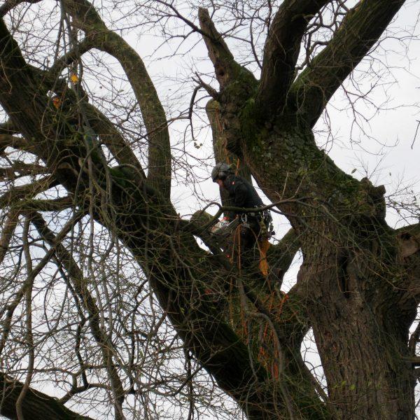Fällung eines Baumes mit Mobilkran und Klettertechnik