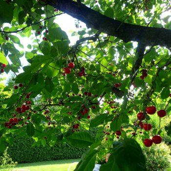 fachgerechter Obstbaumschnitt